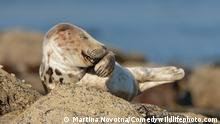 ***ACHTUNG: Bild nur im Kontext des Comedy Wildlife Photo Awards 2021 verwenden!*** The Comedy Wildlife Photography Awards 2021 Martina Novotna Elvington United Kingdom Title: Mr. Giggles Description: Grey seal pup appears to be giggling. I loved the expression captured. It looks so human-like. I was lying on a rocky beach for hours, as motionlessly as possible, patiently waiting for seal life to unfold around me. This seal pup came onto the shore for a bit of rest and ended up sleeping on its chosen rock for hours before the incoming tide forced it to move more inland. Occasionally, it would stretch and yawn and it was one of the yawns that led to this expression, looking as if the seal was giggling. Animal: Grey seal Location of shot: Ravenscar
