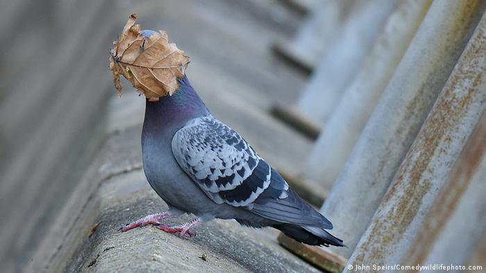 Фотографът Джон Спайрс прекарал часове наред по бреговете на Шотландия, снимайки прелитащи гълъби. Той успял да улови и този миг: вятърът отвял падащо листо в лицето на един гълъб. Посланието е ясно: есента идва!
