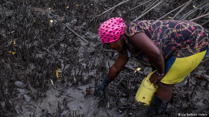 Woman picking piangua clams from mangroves on the Pacific coast of Colombia