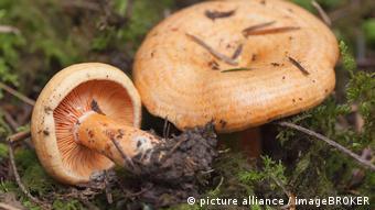 Ryzhiki (Lactarius salmonicolor) - partners of conifers