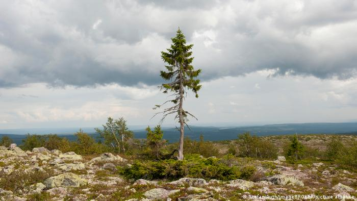 The oldest tree in the world grows in Sweden - spruce, nicknamed Old Tikko, turns 9561