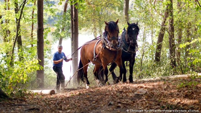 Horses take trees out of the forest