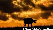 A cow walks on a meadow in the village of Warnsdorf at the Baltic Sea, Germany, as the sun sets on Saturday, Sept. 4, 2021. (AP Photo/Michael Probst)
