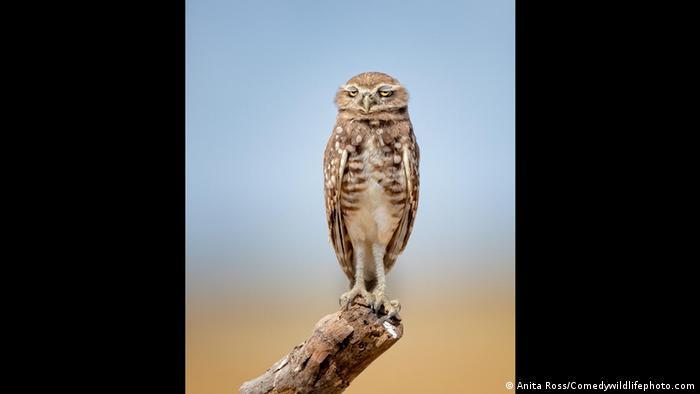 Тази сова е заснета от Анита Рос в Калифорния, САЩ. Птицата привлякла вниманието ѝ, защото изглеждала така, сякаш има главоболие. Дали пък ние хората не сме прекалено шумни? Основателите на Comedy Wildlife Photo Award искат да ни разсмеят, но същевременно се застъпват и за опазването на природата: по-малко месо на масата, по-малко пластмасови отпадъци, по-малко горска сеч.