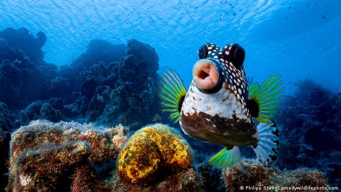 Тази риба е заснета близо до карибския остров Кюрасао. Нима е искала да целуне фотографа? Победителят на тазгодишните награди Comedy Wildlife Photography ще бъде обявен на 22 октомври.