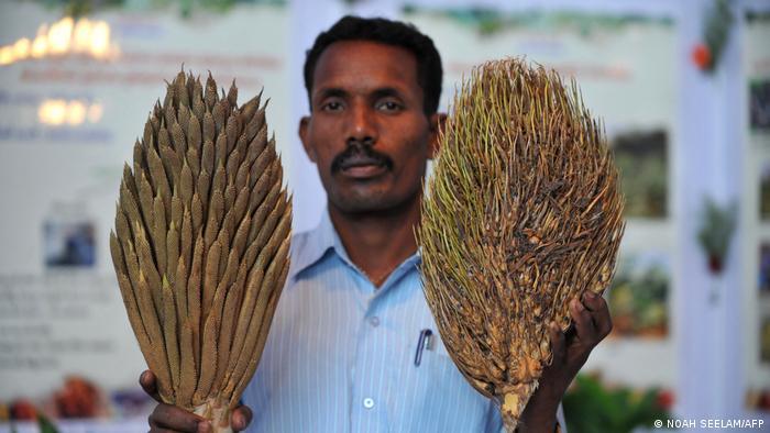 Seorang petani kelapa sawit India menunjukkan bunga sawit jantan (kiri) dan betina (kanan).