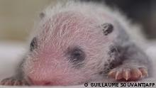 One of a set of panda cub twins named Fleur de Coton sleeps in an incubator at The Beauval Zoo in Saint-Aignan-sur-Cher, central France on August 13, 2021. - The two cubs were born on August 2, 2021, and now weight 310 grams and 296 grams. (Photo by GUILLAUME SOUVANT / AFP)