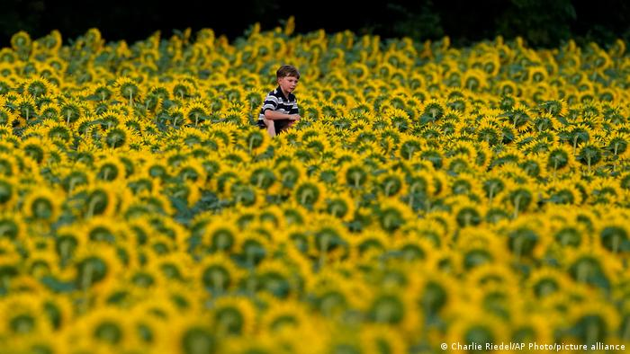 Polje suncokreta u Kansasu
