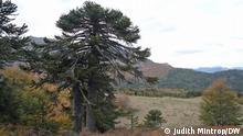 Die Chilenische Araukarie (Araucaria araucana) gehört zu den ältesten Baumfamilien der Welt. Die Spezies existierte bereits zu Zeiten der Dinosaurier. Die Baumriesen werden bis zu 50 Meter hoch und sie können ein Alter von bis zu 2.000 Jahren erreichen.