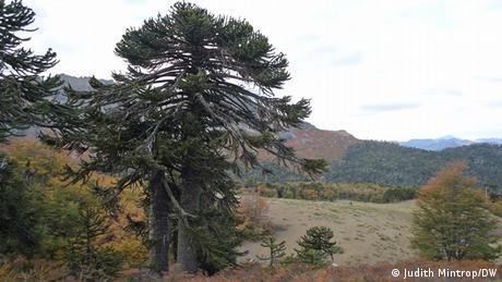 Araucaria (monkey puzzle) tree in Chile