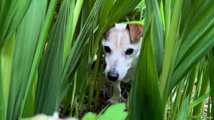 Ziggy, a Jack Russell from Ireland