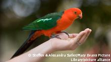 Australian King Parrot - adult male sits on the hand of a person picking offered seeds out of her hand (Alisterus scapularis)