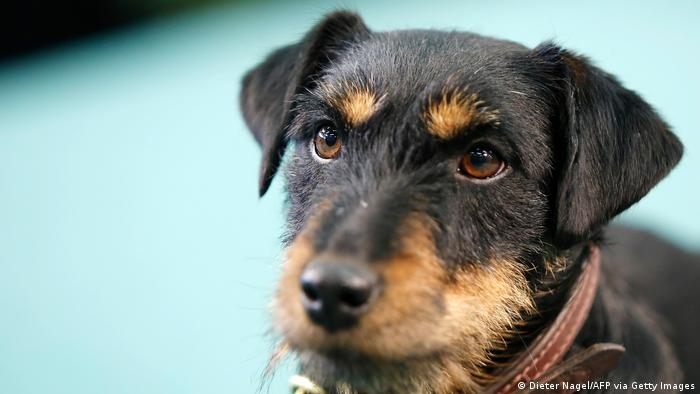 A German Hunt Terrier looks into a camera