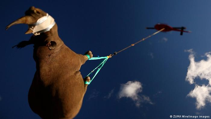 Black rhino being transported by helicopter to an awaiting land vehicle. Eastern Cape, South Africa, file photo from 2011.