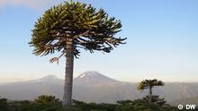 Sie sind die letzten ihrer Art - die Araukarien im Süden Chiles. Abholzung und Klimawandel haben den Bestand schrumpfen lassen. Dabei gehören sie zu den ältesten Baumarten der Welt, die schon zu Zeiten der Dinosaurier wuchsen. Doch im Gebiet der indigenen Mapuche-Pehuenche wachsen sie noch. Rechte: sind gegeben