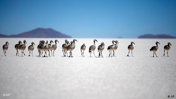 Baby flamingos in the middle of the Uyuni salt desert