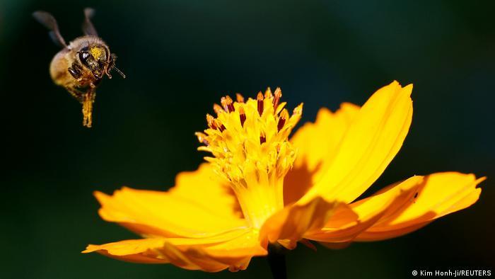 Pre nekoliko dana pčelica Maja proslavila je 45. rođendan. Za malo mlađe objašnjenje: to je lik iz poznatog nemačko-japanskog crtanog filma iz sedamdesetih. A rođaka pčelice Maje na našoj današnjoj fotografiji dana, snimljena je u jednom parku u Seulu, u Južnoj Koreji.