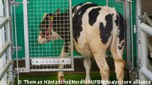 Ein Kalb ist in einer speziellen Latrine des Leibniz-Instituts für Nutztierbiologie Dummerstorf (FBN) zu sehen. Durch die Nutzung einer Latrine können Kot und Harn getrennt werden und vermindern so die Belastungen für die Umwelt. (zu dpa Wenn Kühe aufs Klo gehen - Forscher wollen stubenreine Rinder) +++ dpa-Bildfunk +++