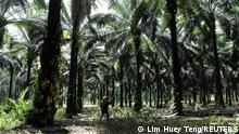 A worker collects palm oil fruits at an oil palm plantation in Slim River, Malaysia August 12, 2021. Picture taken August 12, 2021. REUTERS/Lim Huey Teng