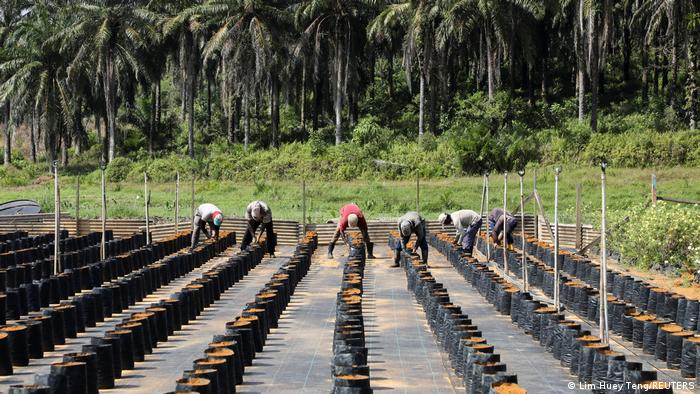 Workers plant oil palm seeds at an oil palm plantation in Slim River, Malaysia