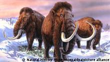 An illustration of the Mammuthus primigenius, the woolly mammoth which lived during the ice age. Japanese researchers, in a project reminiscent of the movie Jurassic Park, want to use ancient DNA and modern-day elephant sperm to try an recreate the prehistoric creature. **MANDATORY CREDIT: The Natural History Museum, London** (EDS NOTE: This still should not be used by daily papers later than 48 hours after reciept of the image, without the consent of the copyright holder). - COLORplus -