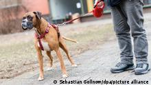 Bulldogge Sam wird am 06.02.2017 in Berlin an einer Leine gehalten. Foto: Sebastian Gollnow/dpa