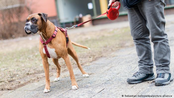 Boxer dog on a leash in Berlin