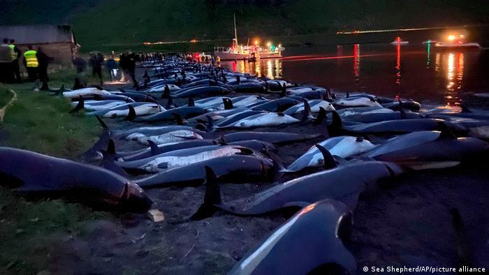 La matanza de delfines en las islas Feroe fue de dimensiones inéditas en 2021, dicen testigos
