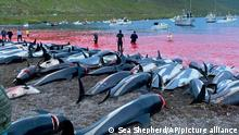 The carcases of dead white-sided dolphins lying on the beach on one of the Faeroe islands