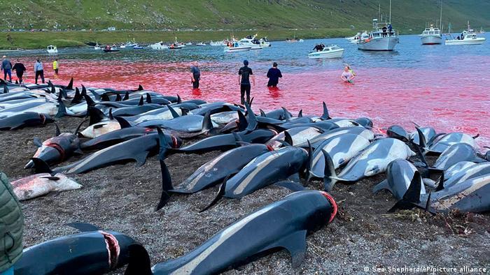 Färöer | Delfintötung