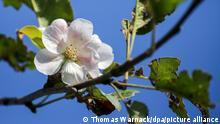 Apfelbäume blühen auf der Schwäbischen Alb. Nach einem Unwetter mit Hagel im Juni waren die Bäume völlig kahl und trugen keine Früchte mehr. Nun haben einige Bäume wieder vereinzelte Blüten. (Zu dpa «Apfelbäume haben schon wieder Frühlingsgefühle») +++ dpa-Bildfunk +++