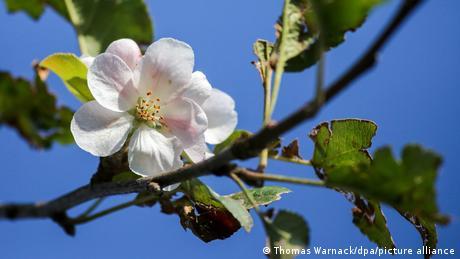 Цветущая яблоня. Цвифальтен, 14 сентября 2021