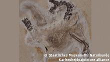 Gegenplatte des Fossils Ubirajara jubatus. Seit Jahrzehnten befindet sich das Fossil des Sauriers Ubirajara im Naturkundemuseum in Karlsruhe, jetzt wollen die Brasilianer die versteinerten Überreste zurück. (zu dpa «Streit um brasilianisches Fossil im Naturkundemuseum in Karlsruhe») +++ dpa-Bildfunk +++