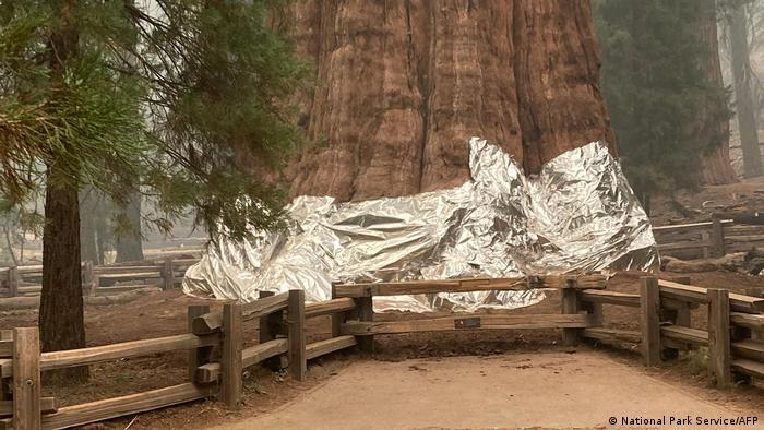 Imagem mostra tronco da árvore embrulhada com cobertor de lâmina metálica