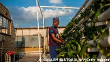 Worker of Rooftops Roots, Thulani Shabangu, pulls out some dry spinach leaves from the plants in Johannesburg, on November 2, 2018. - Rooftop Roots is a small business that does not make use of conventional agricultural methods, such as the use of soil, but instead rely on two systems: hydroponics and aquaponics. Hydroponics is a subset of hydroculture, which is the growing of plants in a soilless medium, such as an open-root system. Hydroponic growing uses mineral nutrient solutions to feed the plants in water, without soil. Aquaponics works along the same principle but with a combination of aquaculture (raising fish). (Photo by Guillem Sartorio / AFP) (Photo by GUILLEM SARTORIO/AFP via Getty Images)