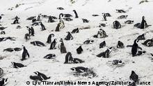 (210425) -- CAPE TOWN, April 25, 2021 (Xinhua) -- African penguins stay on the beach at Boulders Penguin Colony, Simon's Town, southwest South Africa, April 25, 2021. The African penguin is endemic to coastal areas of southern Africa. It has experienced rapid population declines over the past century as a result of over exploitation for food, habitat modification of nesting sites, oil spillages, and competition for food resources with commercial fishing. April 25 marks World Penguin Day, which is a celebratory and educative initiative that encourages people to learn more about penguins and their environment. (Xinhua/Lyu Tianran)