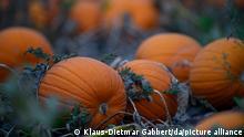 Kürbisse liegen am frühen Morgen auf einem Feld. Es ist der letzte ganztägige Sommertag, da der kalendarische Herbstanfang für die Abendstunden des 22. September 2021 berechnet wurde.
