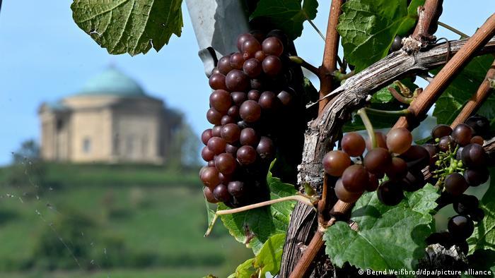 В Штутгарте созрел виноград