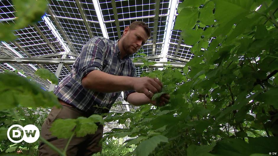 Berry picking: A solar success story