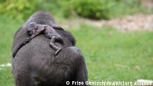 Gorillamutter «Gana» trägt ihr totes Baby Claudio am Donnerstag (21.08.2008) im Allwetterzoo Münster auf ihrem Rücken. Auch fünf Tage nach dem Tod des Gorilla-Babys trägt die Mutter «Gana» den leblosen Körper noch immer unentwegt mit sich herum. Das Verhalten von «Gana» sei normal, sagte Kurator Wewers. Es könne bis zu zwei Wochen dauern, bis die Mutter begreift, dass ihr Kind nicht mehr lebt. «Gana» war bereits im vergangenen Jahr in die Schlagzeilen geraten, weil sie ihr erstes Kind «Mary Zwo» vernachlässigt hatte. Foto: Friso Gentsch dpa/lnw +++(c) dpa - Report+++