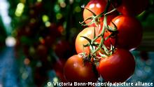 Ripened tomatoes grown in a greenhouse for tomato cultivation in Nettetal, Germany on 30 May 2011. The tomato is very close to recover the flavor many yearn and was lost in the mass production process, thanks to a scientific consortium that decoded the DNA of the vegetable and could now find the genes that give its flavor, color and shape, 31 May 2012. Photo: Victoria Bonn-Meuser/dpa /au
