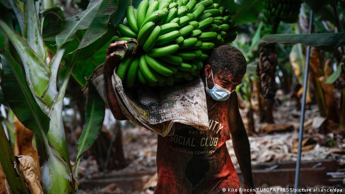 A farmer covered in volcanic ash picks a bunch of bananas before the lava from the Cumbre Vieja volcano reaches the plantation.