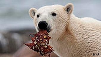 Kanada Arktis Klimawandel Polarbär am Hudson Bay