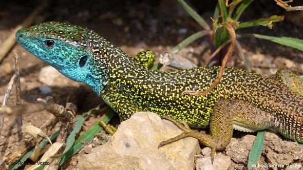 Closup of an eastern green lizard