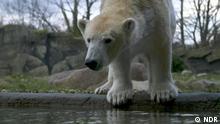 Ein Training soll Eisbären im Zoo von Rostock vor Verhaltensstörungen bewahren.