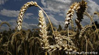 Weizen Getreide