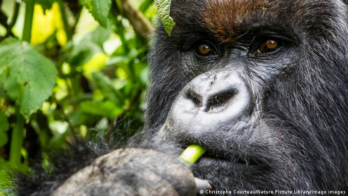 BG Tag der Biodiversität Afrika | Berggorilla