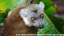 Kronenmaki Lemur coronatus, Petterus coronatus, Eulemur coronatus, klettert an einer Liane und schaut in die Kamera, Madagaskar crowned lemur Lemur coronatus, Petterus coronatus, Eulemur coronatus, climbs on a liana and looks into the camera, Madagascar BLWS646602 *** Crowned lemur Lemur coronatus, Petterus coronatus, Eulemur coronatus , climbs on a liana and looks into the camera, Madagascar BLWS646602 Copyright: xblickwinkel/McPHOTO/D.xMoserx