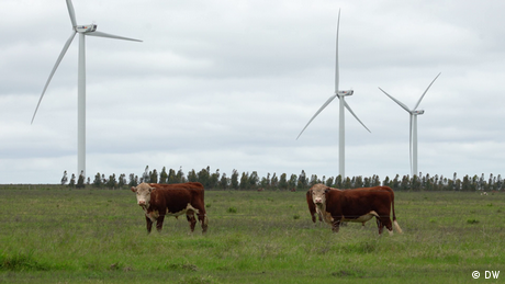 Cows in a field next to some wind turbines