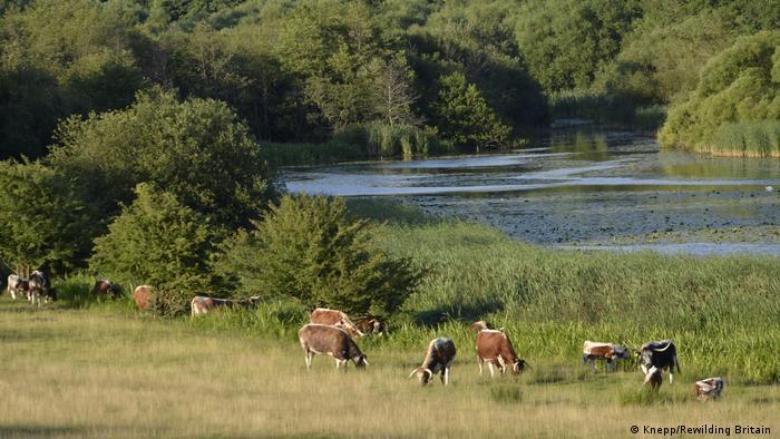 Animals graze at a rewilding project at Knepp Castle Estate
